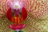 Moth Orchid.jpg