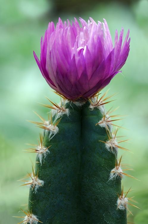 Fairy Castle Cactus.jpg