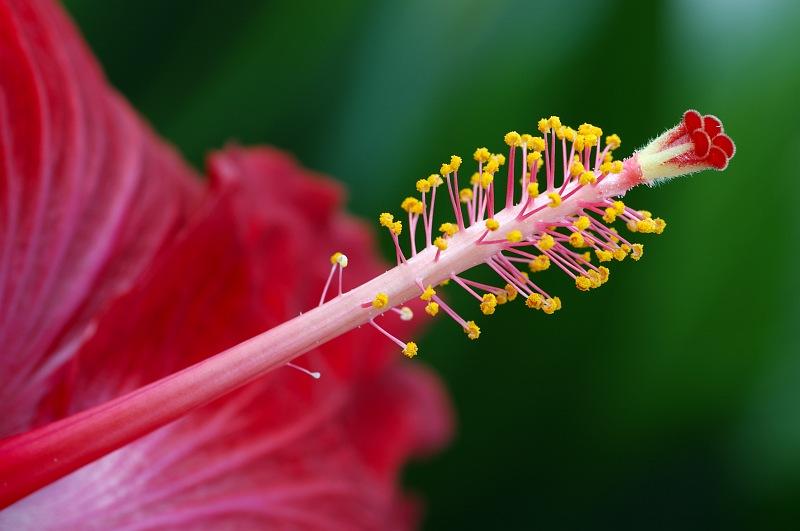 Hybiscus stamen.jpg