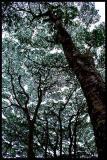 Hawaiian tree canopy