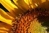 Face of a Sunflower