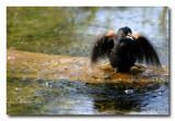 Carouge / Red-Winged Blackbird