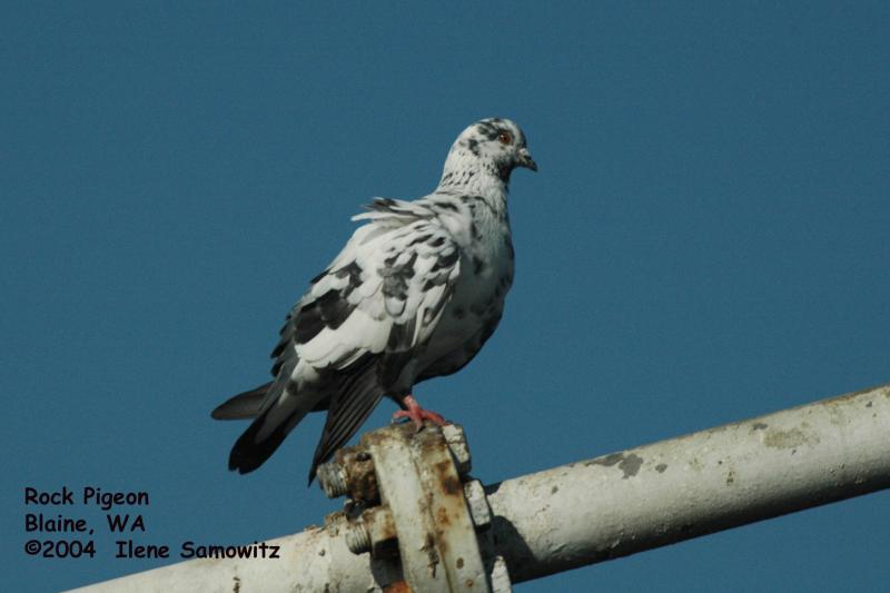 Rock Pigeon 1305.jpg