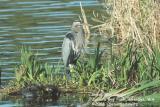 Great Blue Heron 0795.jpg