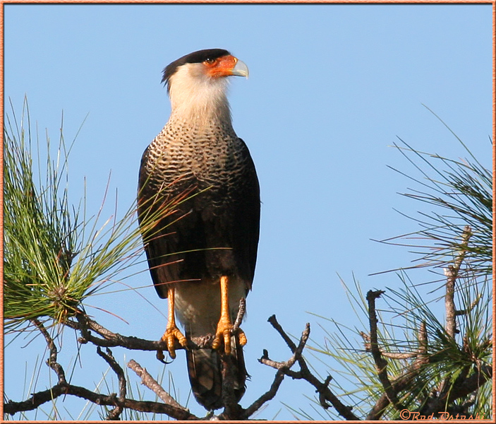 Caracara Perched