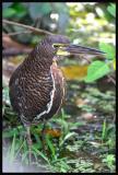Rufescent Tiget-Heron