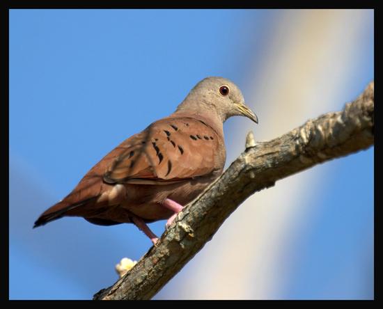 Ruddy-Ground-Dove2.jpg