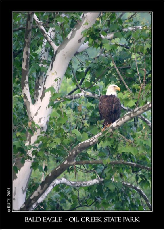 Bald Eagle - Oil Creek State Park.jpg