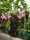 Dendrobium loddigesii #1