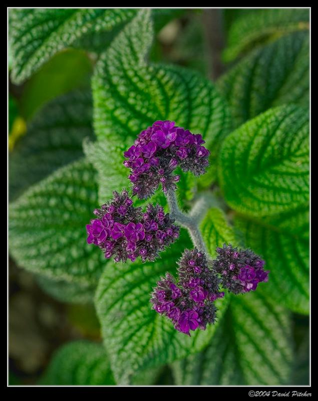 Purple Rises Above Green