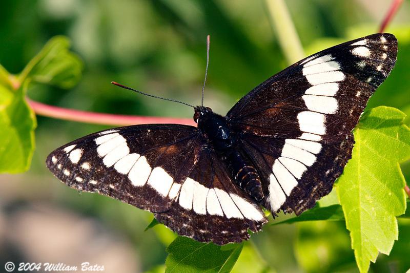 Weidemeyers  Admiral Butterfly.jpg