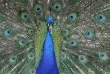 peacock_6066.jpg