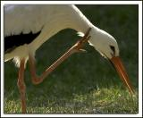 Bird scratching DSC_3968