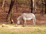 Bronx Zebra