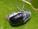 Coleothorpa dominicana