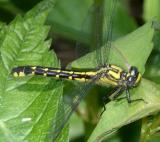 Spine-crowned Clubtail - Gomphus abbreviatus (female)