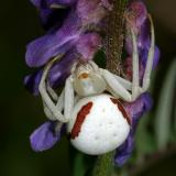 Goldenrod Crab Spider - Misumena vatia