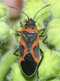 Small Eastern Milkweed Bug - Lygaeus kalmii
