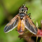 Trichopoda pennipes