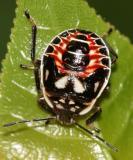 Podisus placidus (nymph)