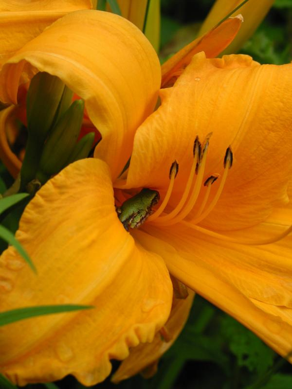Hyla versicolor inside a daylily.
