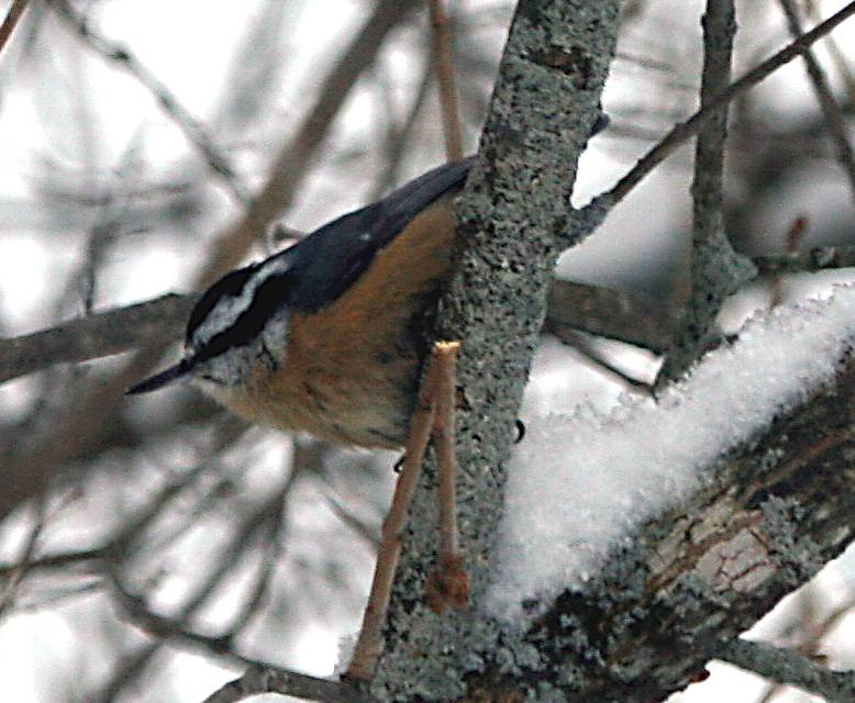 Nuthatch  waiting