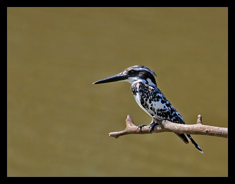 Lesser Pied Kingfisher