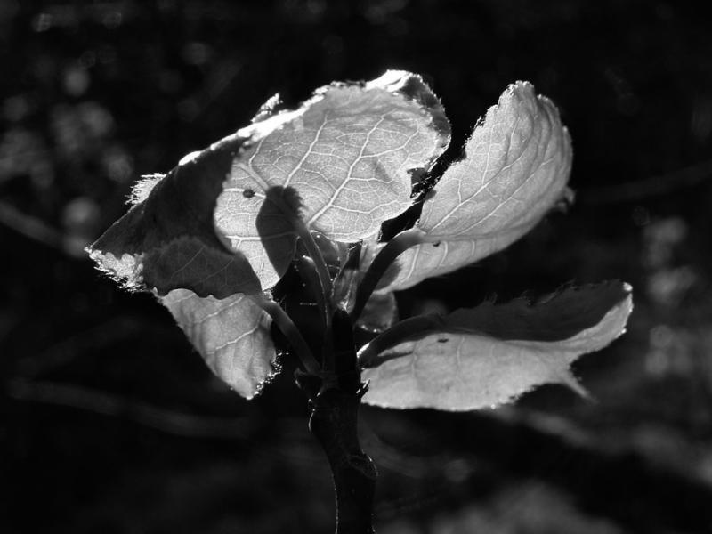 New aspen leaves grey P4300005.jpg