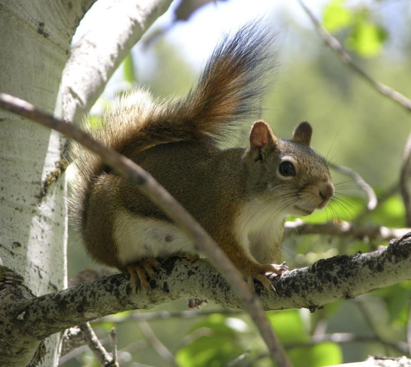 Tamiasciurus hudsonicus or red squirrel DSCN4023.jpg