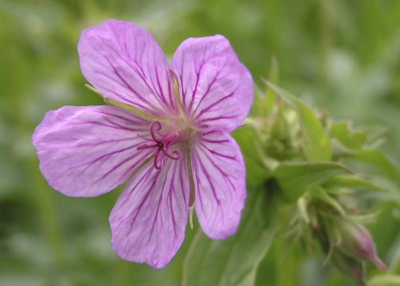 sticky geranium P6130008.jpg