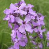purple flowers near cougar zone P6190032.jpg