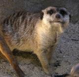 meerkat DSCN4228.jpg