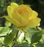 rose at Rose Garden DSCN4254.jpg