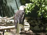 Bald Eagle at Zoo Boise DSCN4168.jpg