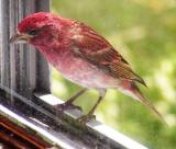 Purple Finch at the Window
