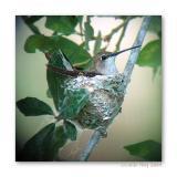 Black-chinned building nest
