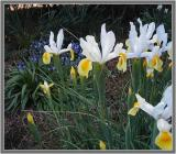 Iris bluebells  daffodils