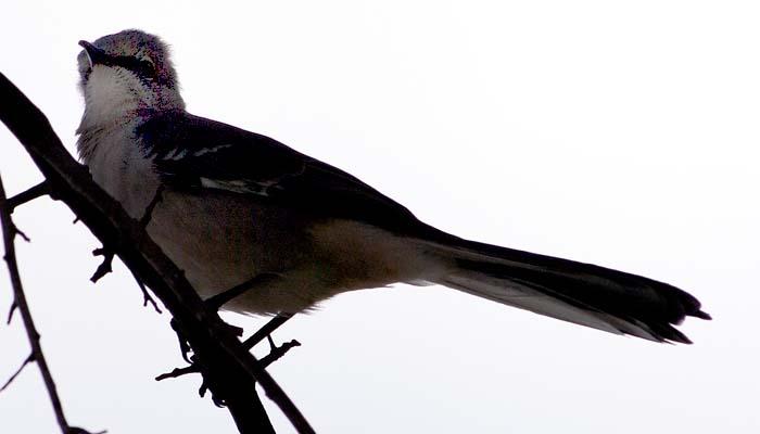 Mockingbird stock photo #1834