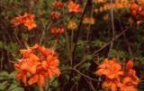 'Orange Rhyme'