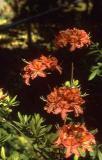 'Queen's Rose'