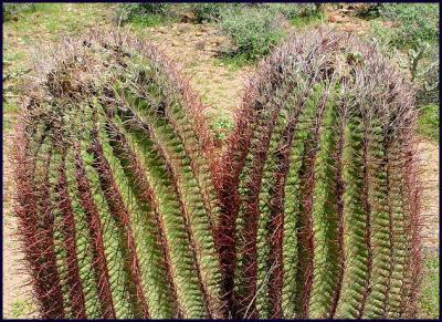 Cactus22.JPG