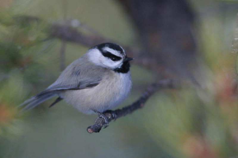 Mountain Chickadee III