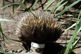 Echidna stuffing his face down a feeding tube