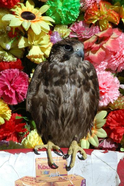 Falcon at Tahrir Square