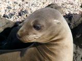 914 Galapagos Sea Lion.jpg