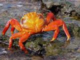 787 Sally Lightfoot crab.jpg
