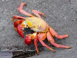 838a Sally Lightfoot crab.jpg