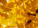 Sun and ginkgos