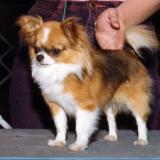 Brite Star Chihuahuas in the Show Ring