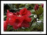 Rain drenched rhododendrons
